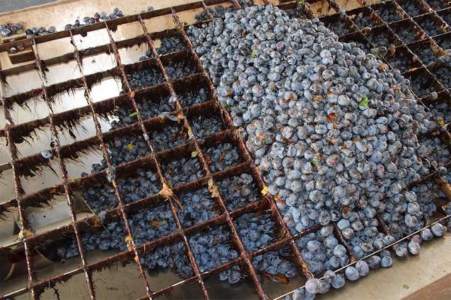 Preprava ovocia na spracovanie